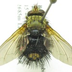 Epalpus sp. (Bolivia)