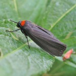 red-necked-footman-hartslock-20090614-07