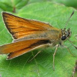 small-skipper-pamber-forest-20090718
