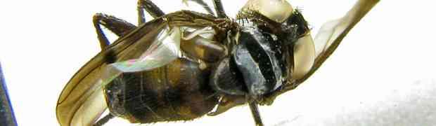Acaulona or Xanthomelanopsis ??? (French Guiana & Surinam)