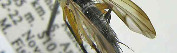 Actinochaeta sp. (Brazil)