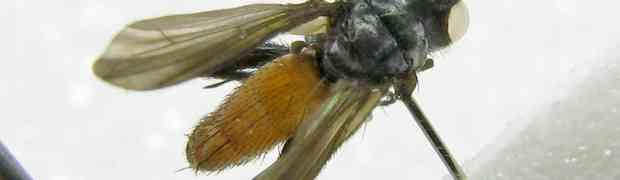 Beskia aelops from Peru