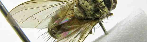 Calodexia sp. (Ecuador)
