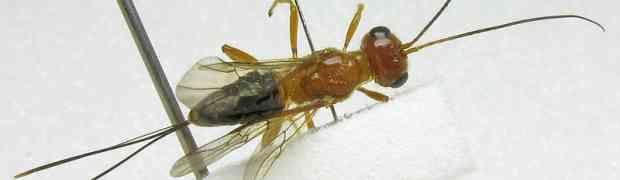 Capitonius sp. (Braconidae, Cenocoeliinae) - an evanoid 'mimic'
