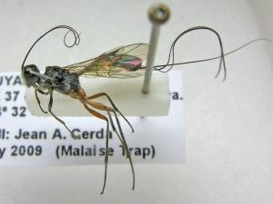 Cenocoeliinae-French-Guiana-20091114-02