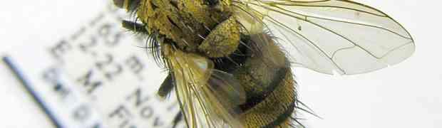 Chrysoexorista sp. (Bolivia & Brazil)