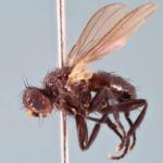 Cinochira atra, 4x life-size, Zerene PMax method