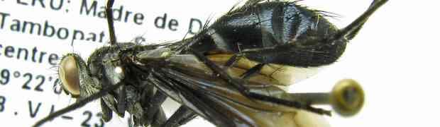 Cordyligaster petiolata (Sophiini, fg-taxon #85)