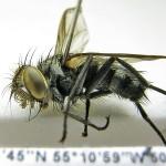Cryptocladocera-(male)---Surinam,-Menno-Reemer-11