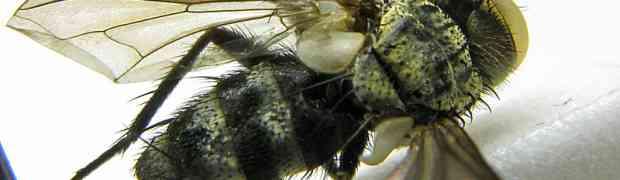 Pelecotheca s.g. Cryptocladocera (male) (Surinam)