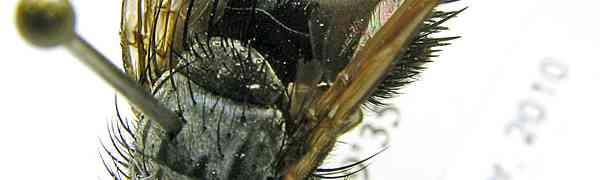 Epalpus sp. (Bolivia)