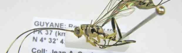Apechoneura sp. (Ichneumonidae, Labeninae)