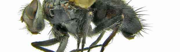 Portuguese Diptera & Hymenoptera galore!