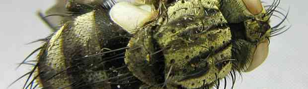possibly Hyphantrophaga sp. (Peru)