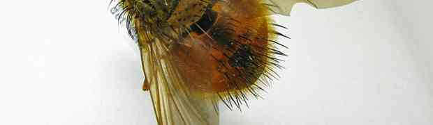 Macromya depressa (Costa-Rica)