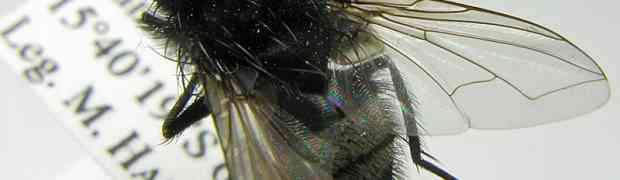 Myiopharus cf. nigrita (Bolivia)