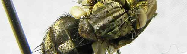 3x Mystacella sp. (Peru)