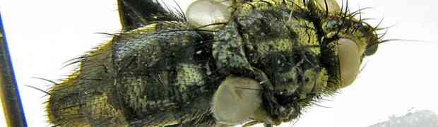 Neobrachelia sp. (Peru)