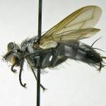 Neomintho-macilenta---French-Guiana,-Villu-Soon-01