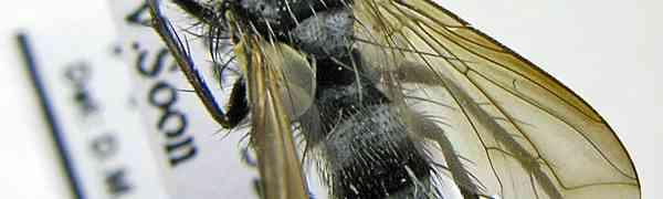 Neomintho macilenta (French Guiana)