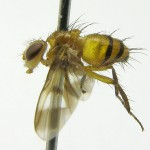 Oestrophasia---Costa-Rica,-Martin-Hauser-01