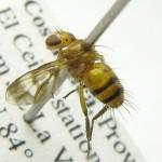 Oestrophasia---Costa-Rica,-Martin-Hauser-02