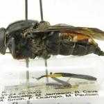 Pantophthalmus argyropastus (female), from Nicaragua