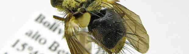 Parepalpus sp. (Bolivia)