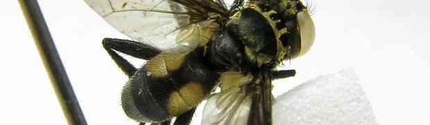 Pennapoda & Xanthomelanodes sp. (French Guiana & Bolivia)