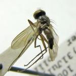 Phyllophilopsis---Panama,-Eric-Fisher-03