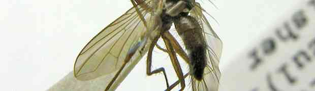 Phyllophilopsis sp. (Panama)