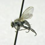 Phytomyptera minutissima (female)