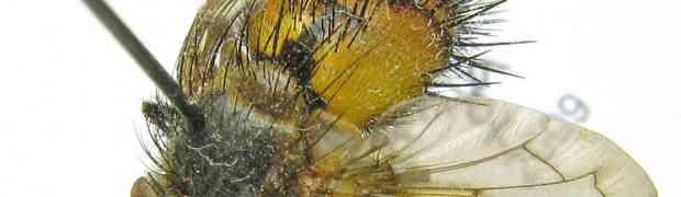Protodejeania echinata (Nearctic)