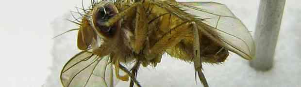 Pseudosiphona sp. (Surinam)