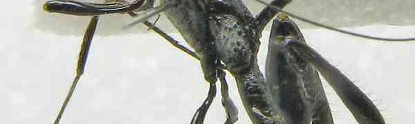 Hemistephanus erugatus (Stephanoidea, Stephanidae)