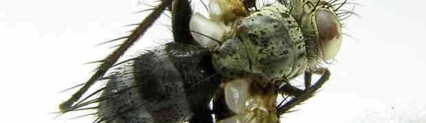 Thelairaporia sp. ??? (French Guiana)