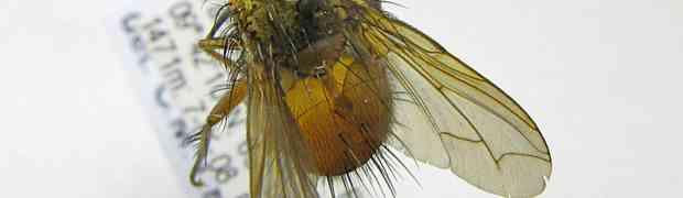Trichophora sp. (Brazil)