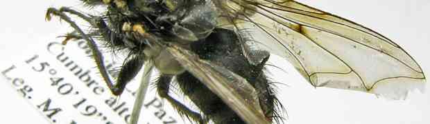 Xanthophyto sp. (Bolivia)