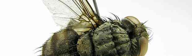 Zizyphosturmia sp. ??? (French Guiana)