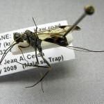 """Aulacus """"cf. cephalus"""" (Aulacidae)"""