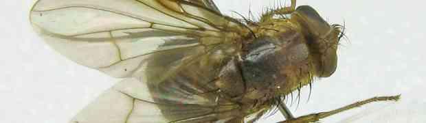 Mesembrinella (Calliphoridae, Mesembrinellinae) & Dexiinae (fg-taxon #16)