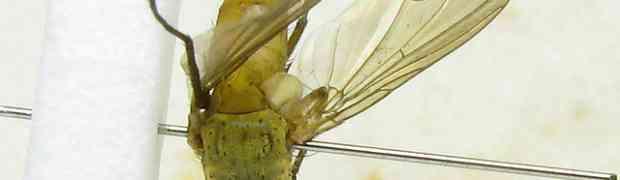 fg-taxon #22 (Genea & Leskia sp.)