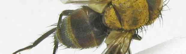 fg-taxon #31 (Myothyriopsis sp.)