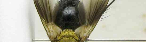 fg-taxon #45 (Jurinia sp.)