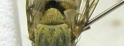 fg-taxon #51 (Telothyria sp.)