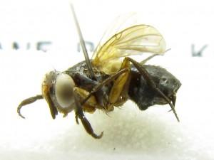 fg-taxon-52-female-001