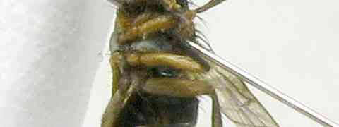 fg-taxon #53 (Borgmeiermyia sp.)