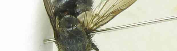 fg-taxon #57 (poss. Deopalpus sp.)