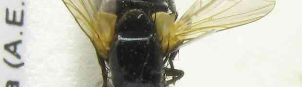 fg-taxon #62 (Pseudochaeta sp.)