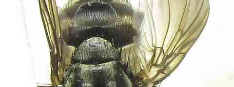fg-taxon #69 (Billaea group)